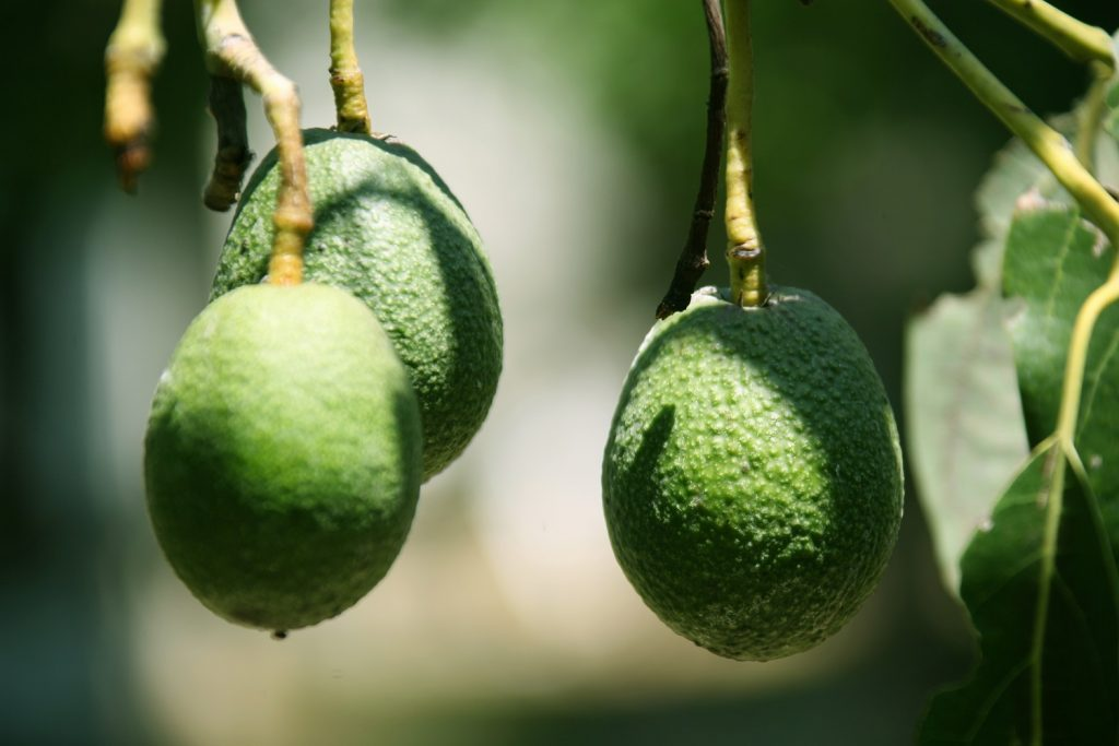 U.S. eases Colombian Hass avocado import requirements