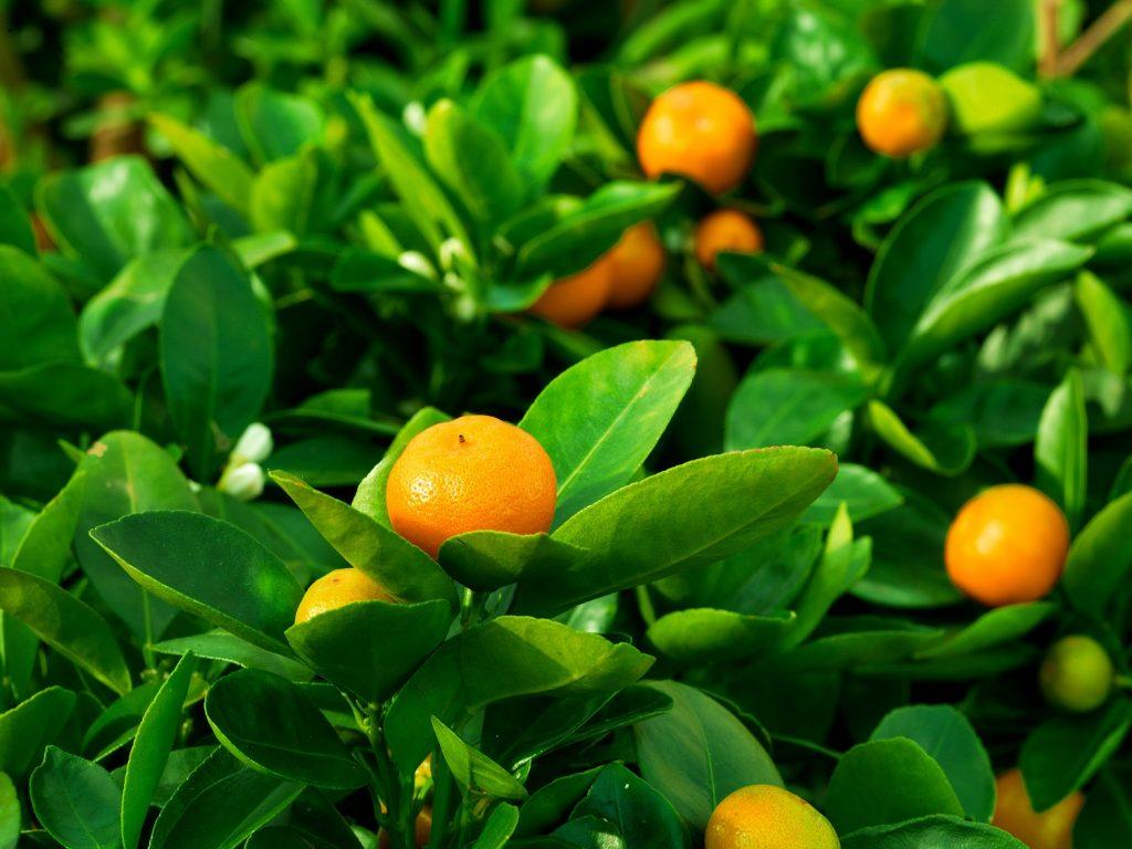 Chile downgrades mandarin export forecast