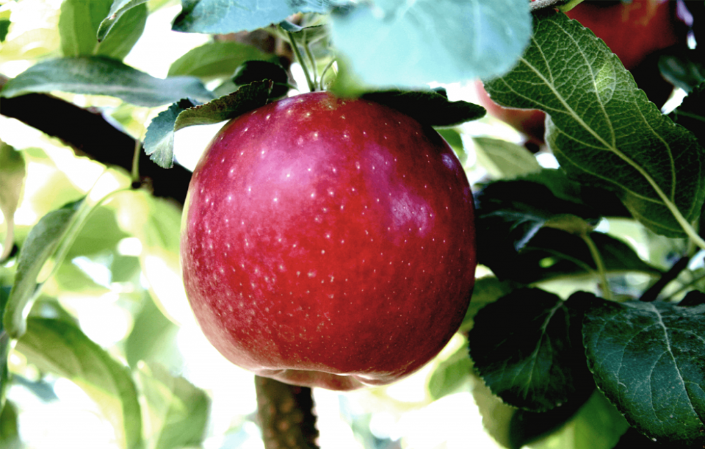 Cosmic Crisp apple 'has potential to become top-five variety at this time next year'