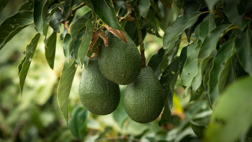 U.S. avocado imports jump from all LatAm origins through Q3