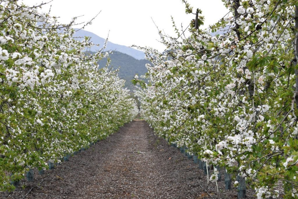 Artificial pollination performs better - Israeli startup explains how