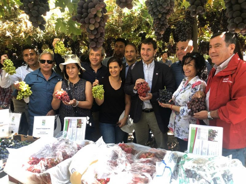 Chile: Table grape industry announces two new commercial varieties