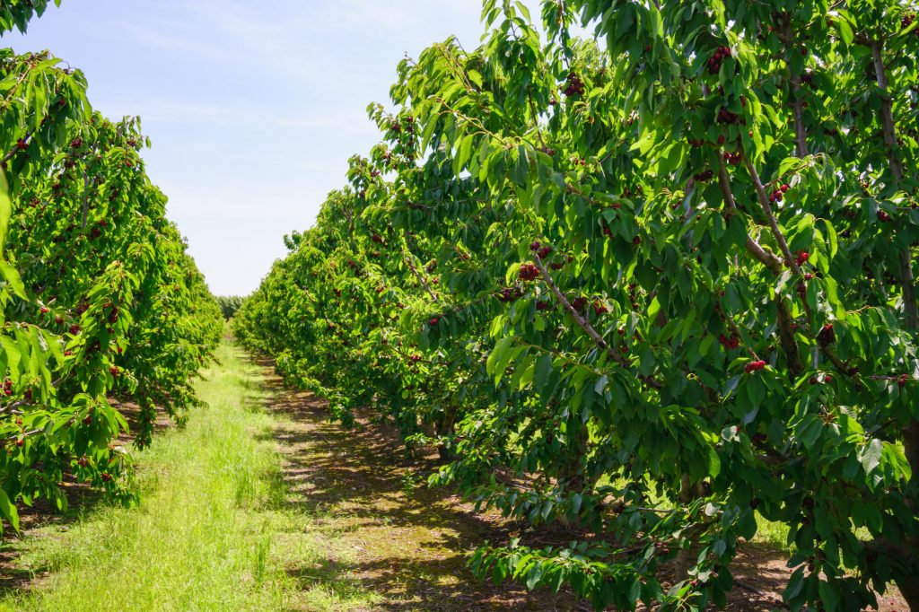 Stemilt expects larger California cherry crop, different packaging focus this season