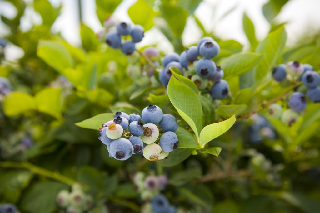 Chinese market opens for U.S. blueberries