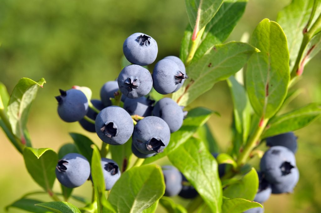 Michigan blueberry grower Shelly Hartmann named Chair of USHBC