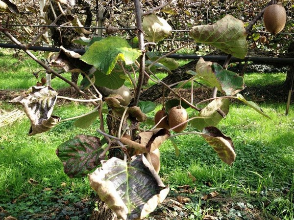 Kiwifruit disease spreads through Italy, will likely impact production