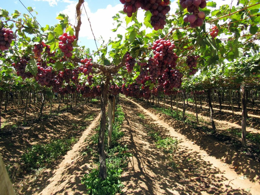 Peruvian table grape exports to rise by 2% in 2020-21 - USDA