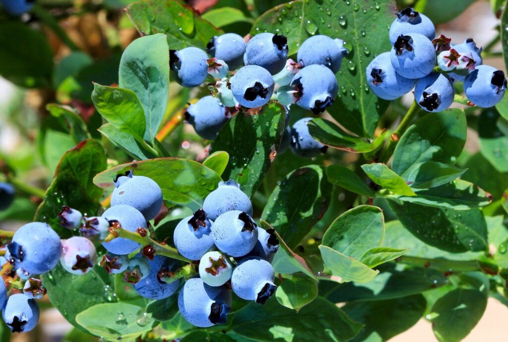 Giumarra partners with South American blueberry company CarSol Group