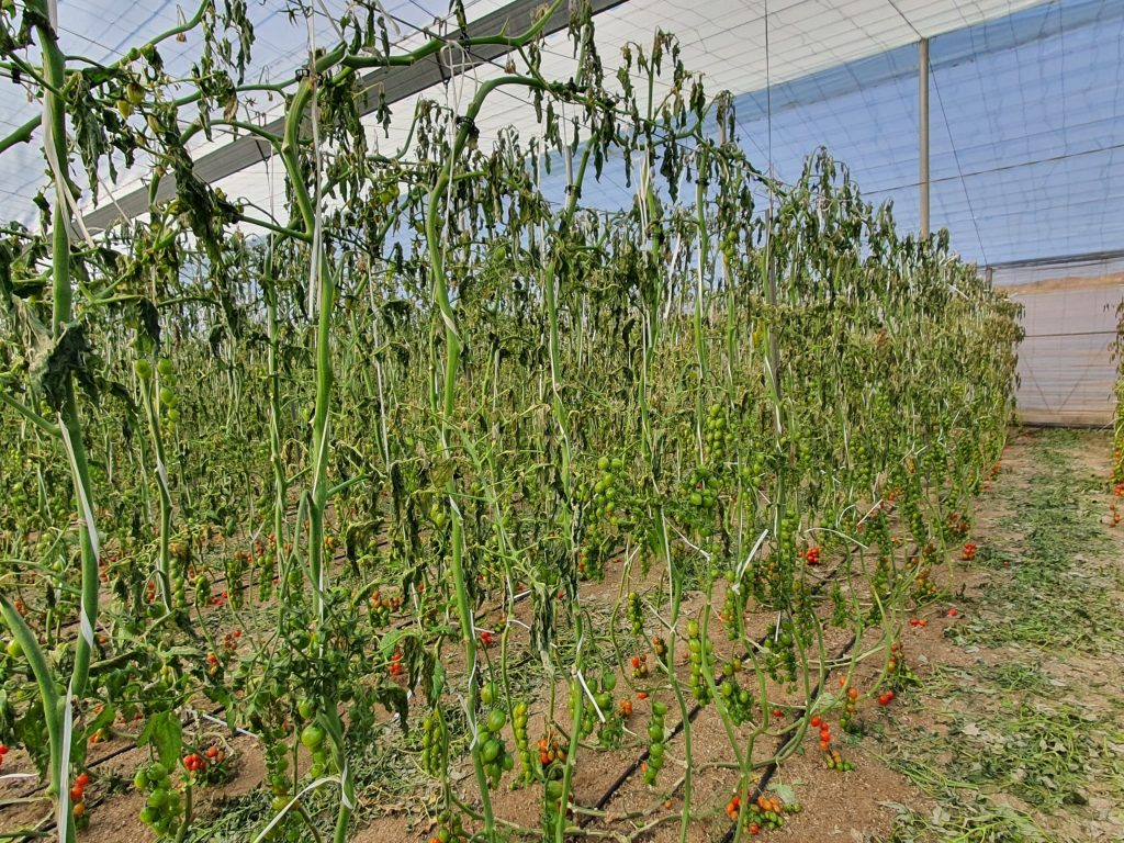 Cold snap hits Spanish fruit and vegetable production