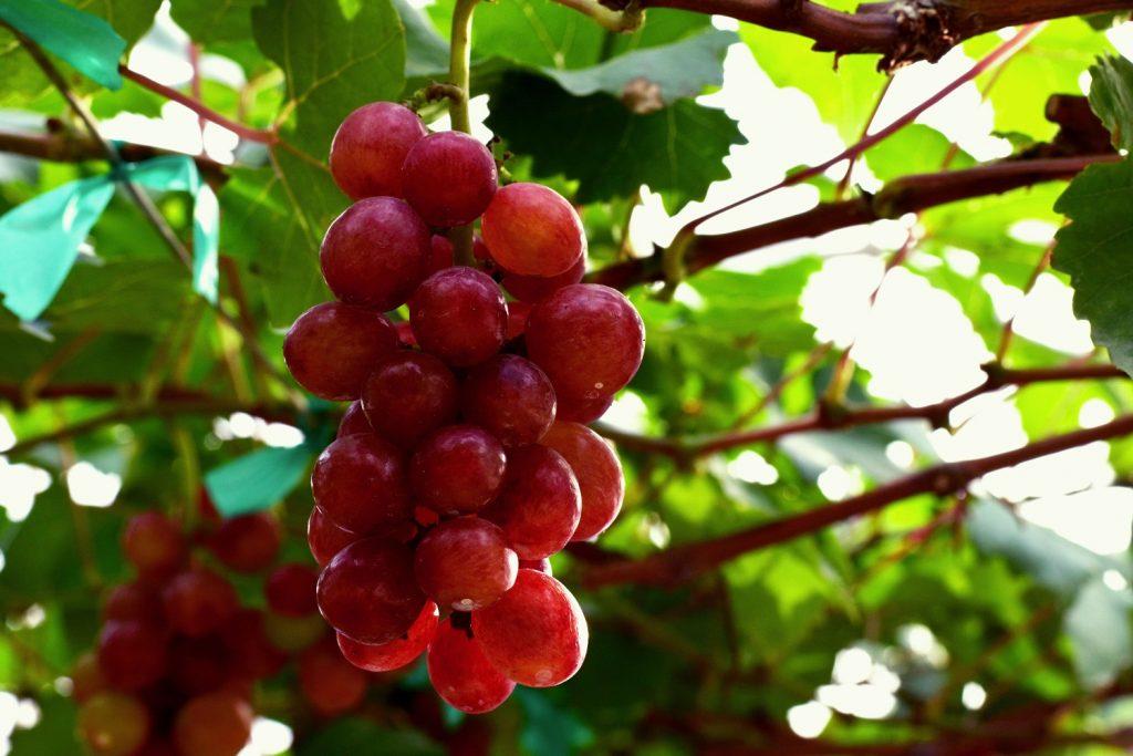 South Africa lowers table grape crop estimate