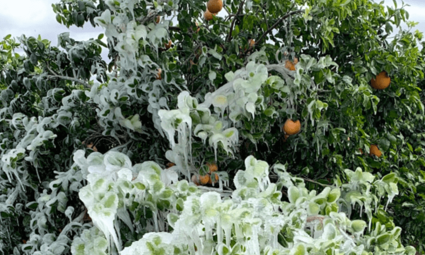 Texas citrus losses from storm estimated to be at least $300M