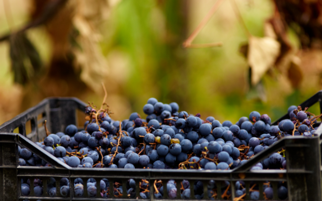 Chile: Asoex cuts table grape export forecast by 19%
