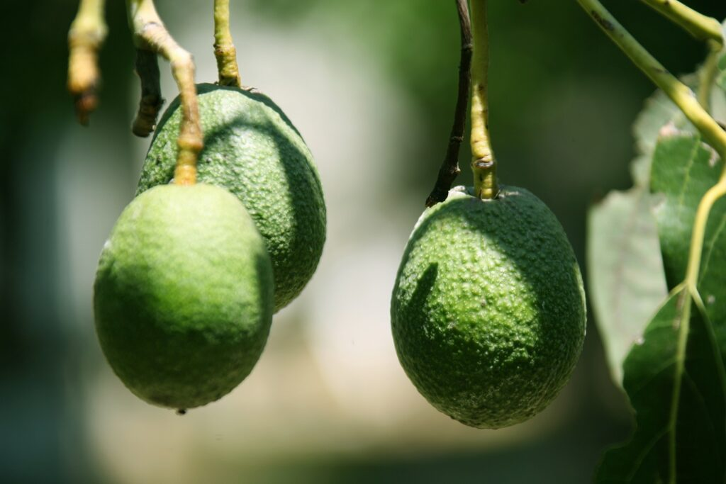 Agronometrics in Charts: Super Bowl sees avocado volumes hit record highs