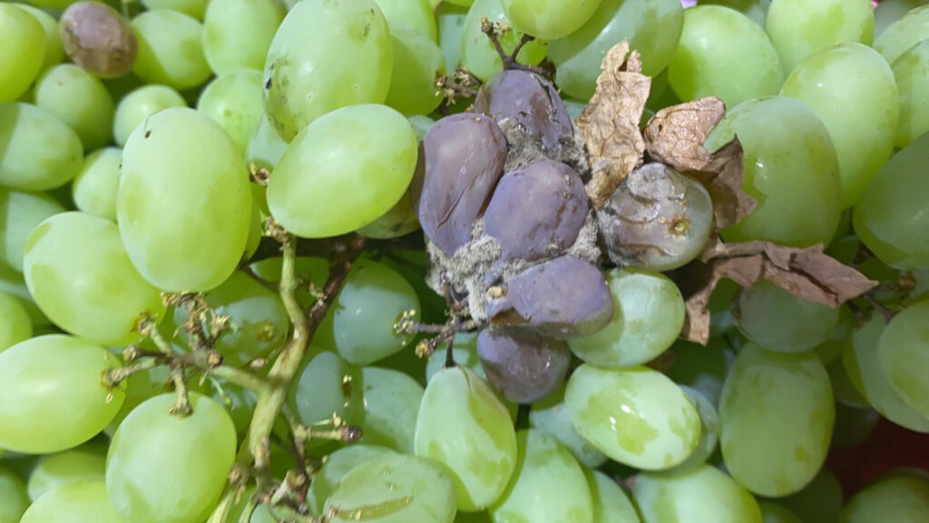 Chile: Table grape harvests still heavily impacted by rains