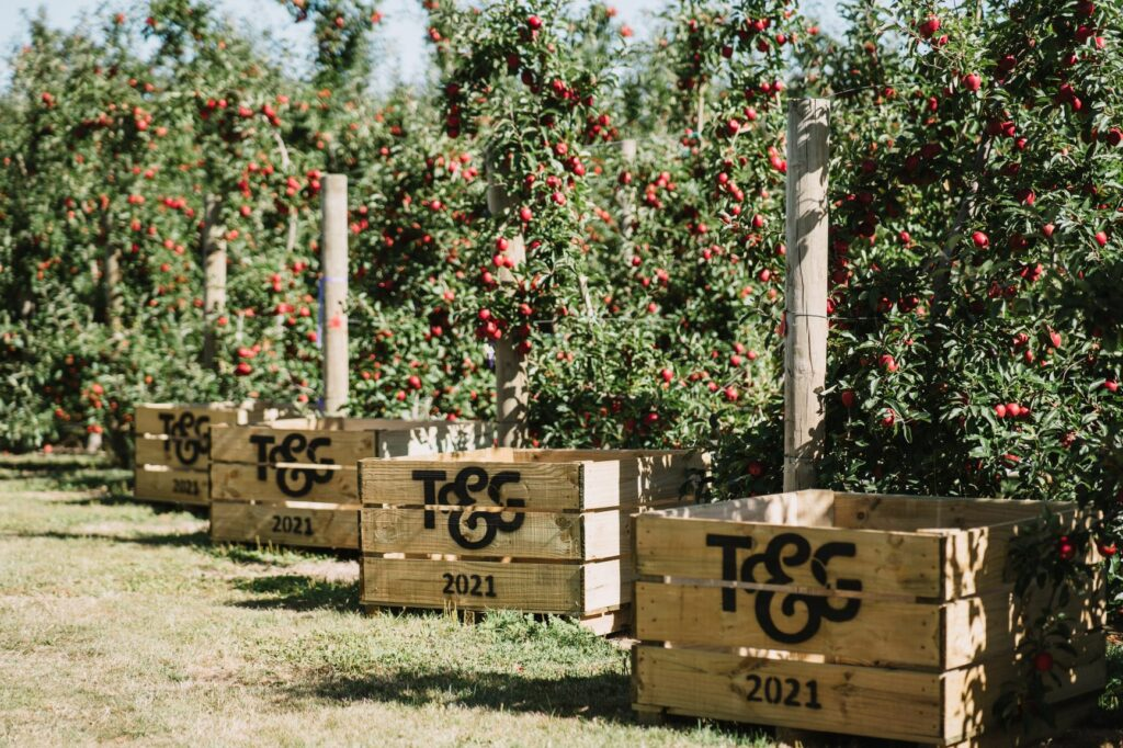 T&G Global launches new early ripening apple brand