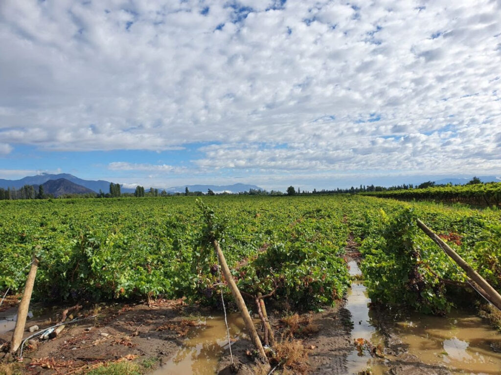 Chile: Table grapes hardest hit by storm amid agricultural