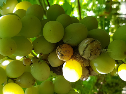 Table grapes acid rot