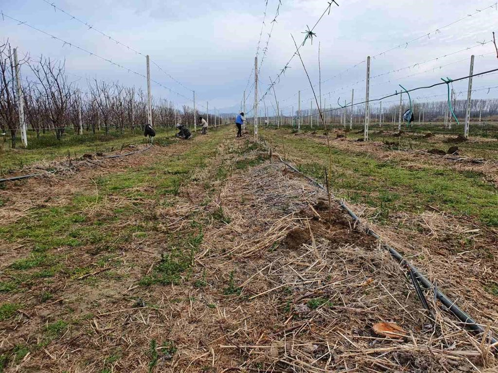 Jupiter to trial South African plum varieties in Northern Hemisphere for first time