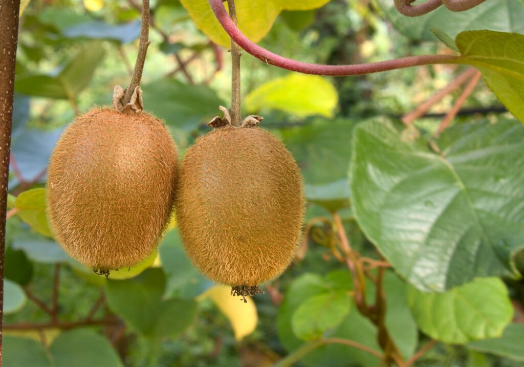 Largest-ever kiwifruit harvest begins in New Zealand
