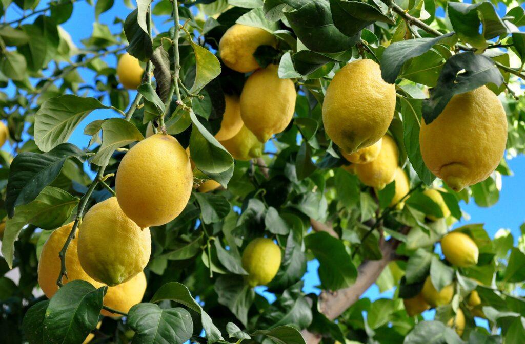 South American lemons to