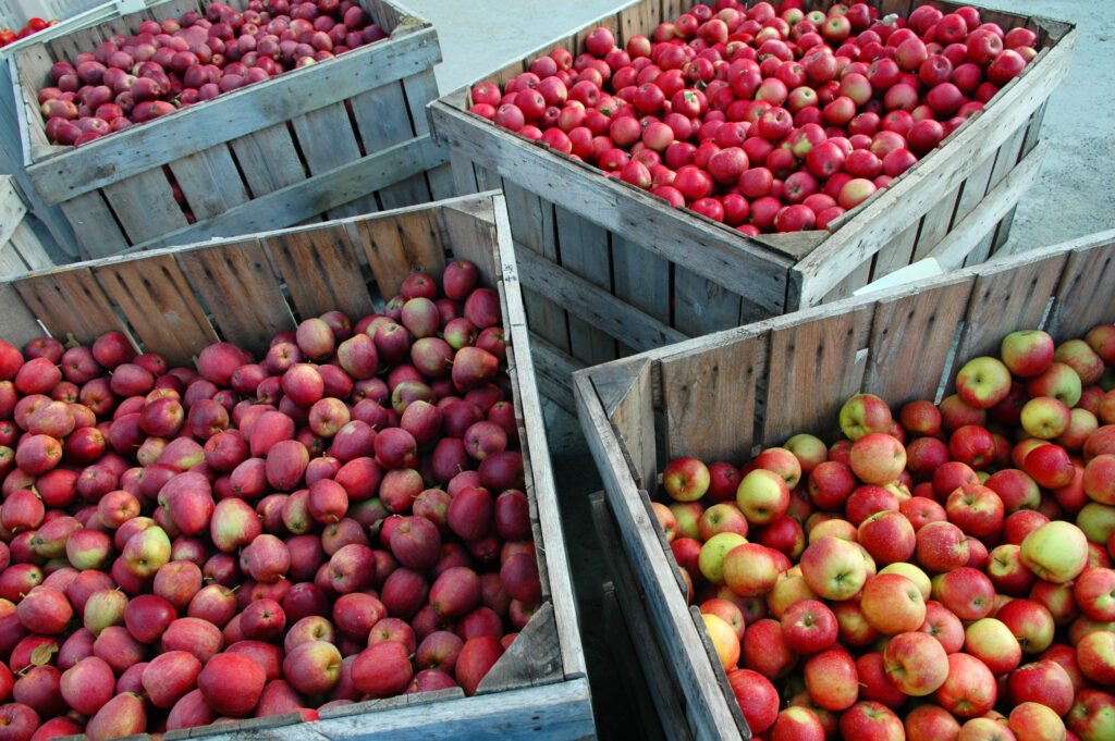 New Zealand further cuts apple export forecast due to labor shortages
