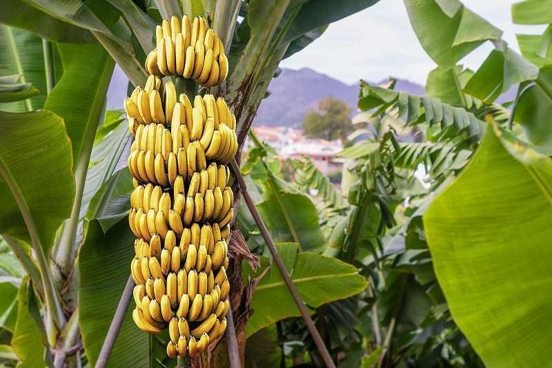Colombia aims for 10 percent growth in banana exports in 2021