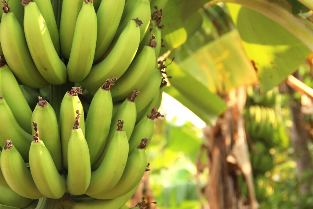 Peru detects possible TR4 case on banana plantation