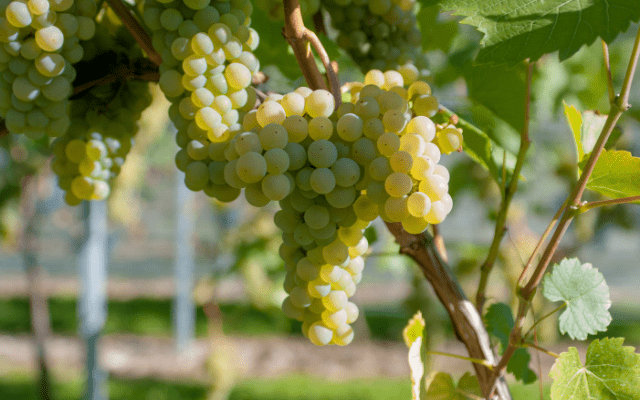 Agronometrics in Charts: The triumph of white seedless grapes from Mexico