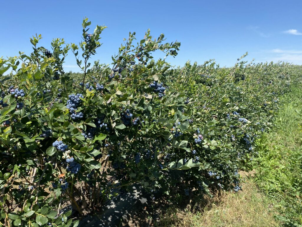AgroFresh's Harvista 1.3 SC solution provides dramatic benefits for U.S. blueberry growers