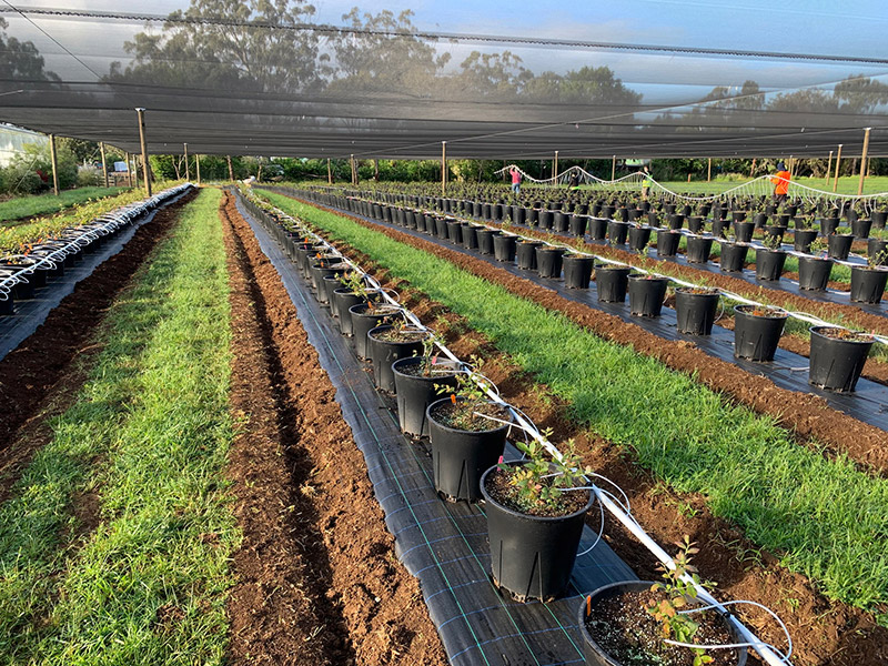 T&G to harvest first commercial crop of new