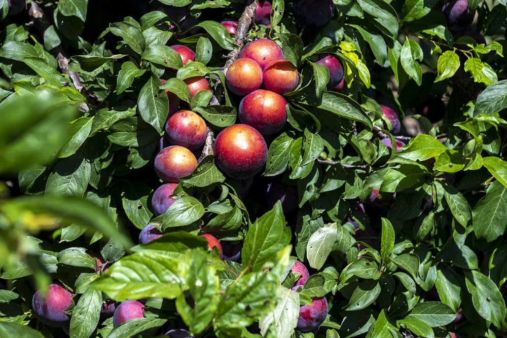 Spain: Valencian stone fruit season prospects boosted by frosts elsewhere in Europe
