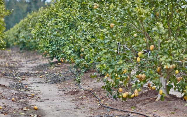 Mexico: Forest fires, potential strike threaten lemon harvests