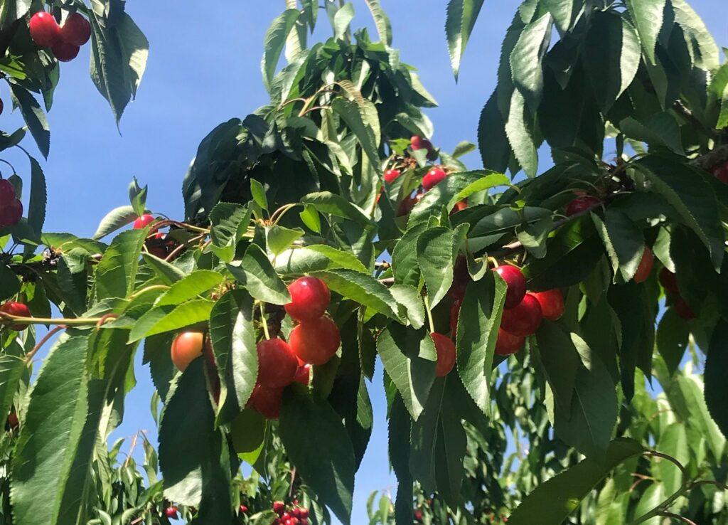 Oppy kicks off California cherry season