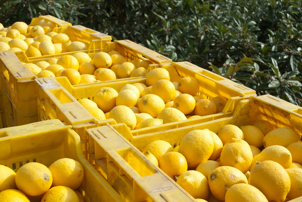 South Africa to begin exporting lemons to China after protocol revision