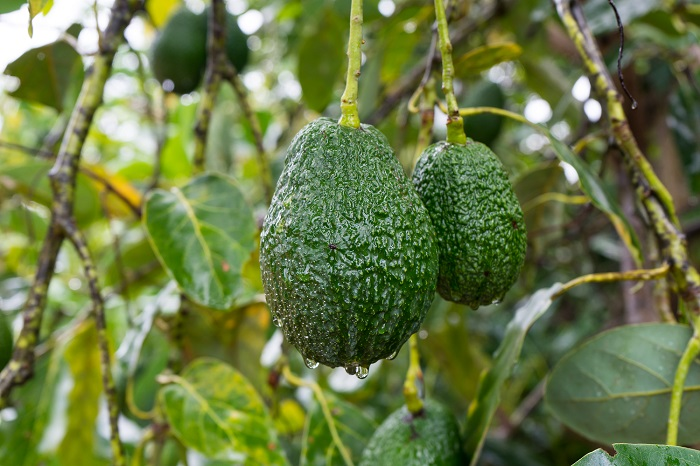 California avocado growers seek ways to protect groves from heat