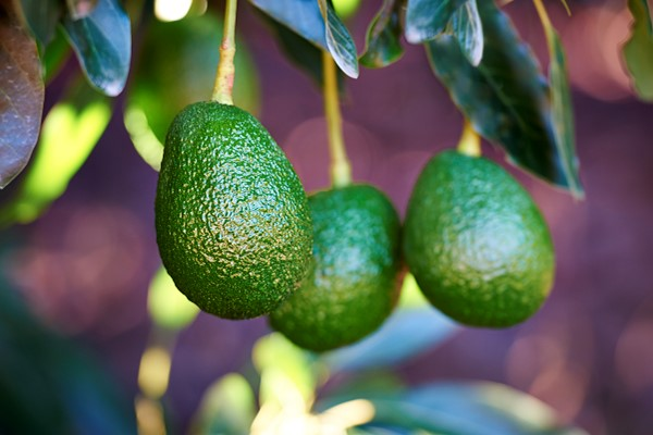 Global avocado production estimated to triple from 2010 to 2030