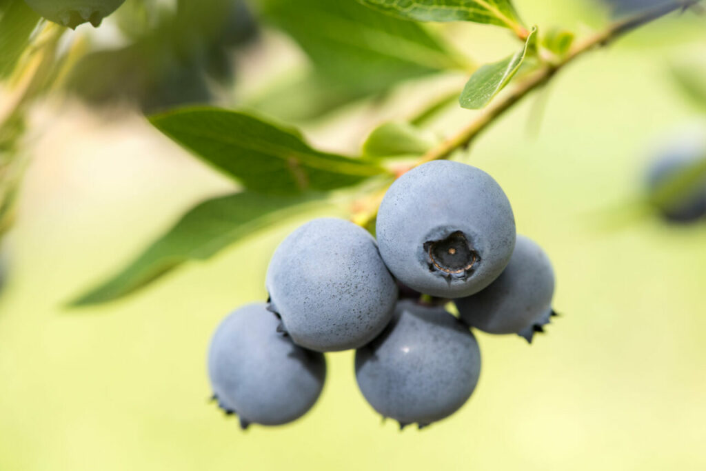 New Zealand releases 11 blueberry varieties for growers