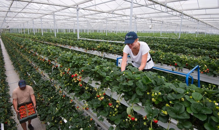 British strawberries to be produced nine months a year with vertical farming