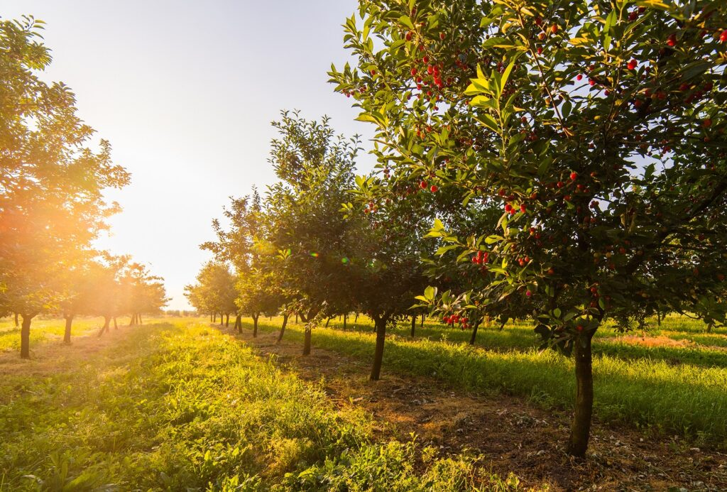 Canada: Cherries and berries severely damaged by heat wave