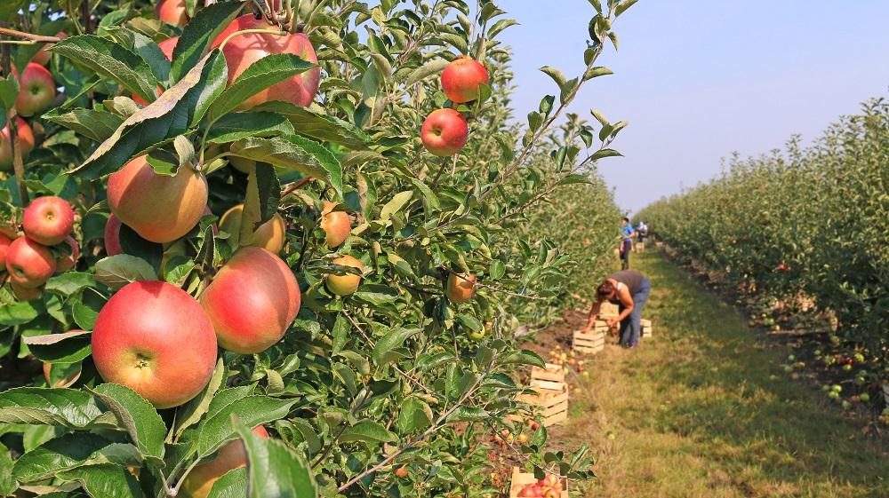 Heat wave impact on Washington apple crop uncertain