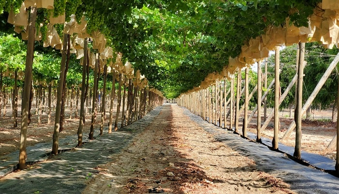 GESEX and PURA FRUIT form alliance and become one of largest table grape exporters in Peru