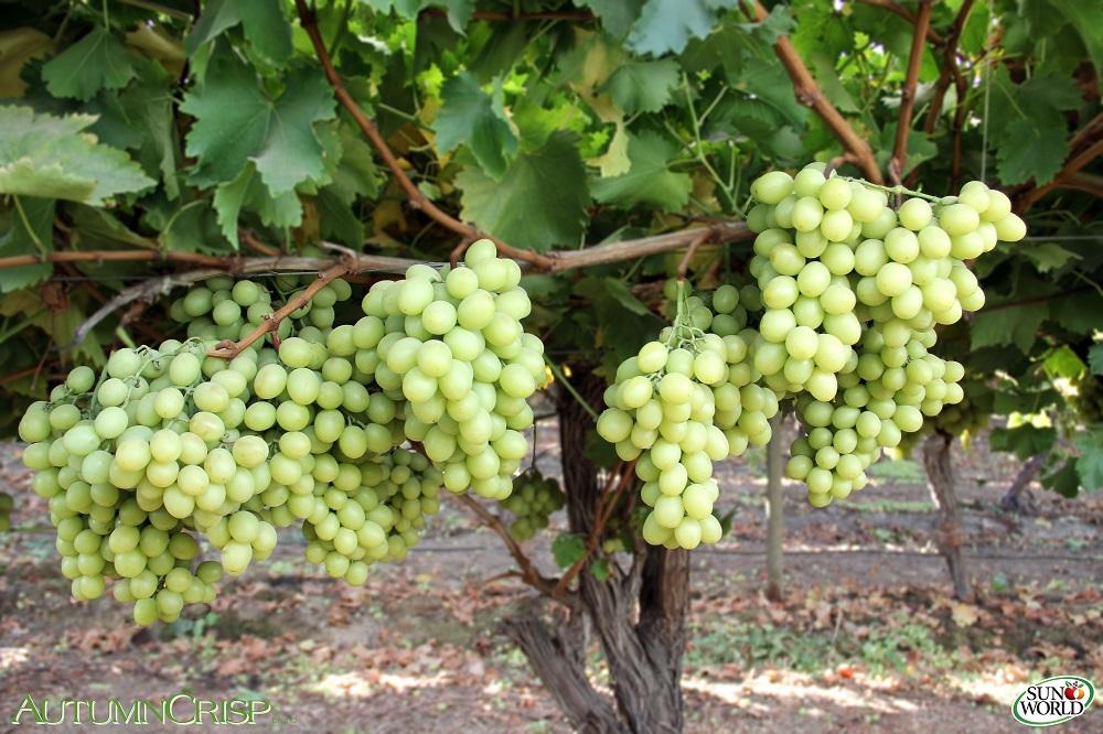 Sun World adds Australian grape grower-marketer