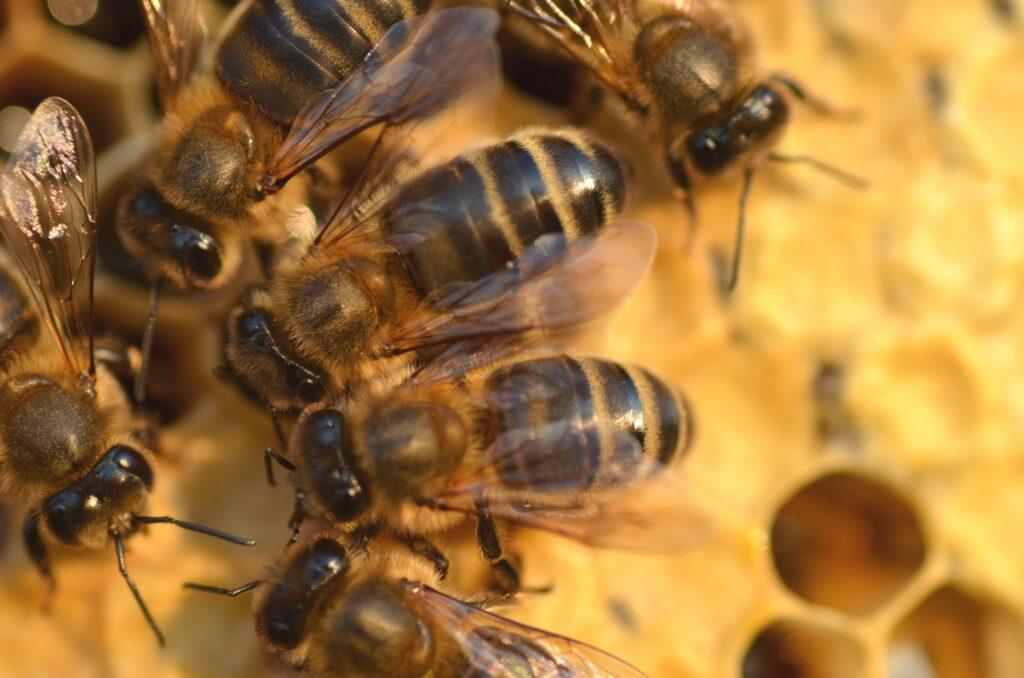 Drought-weakened bee colonies threaten West Coast crops