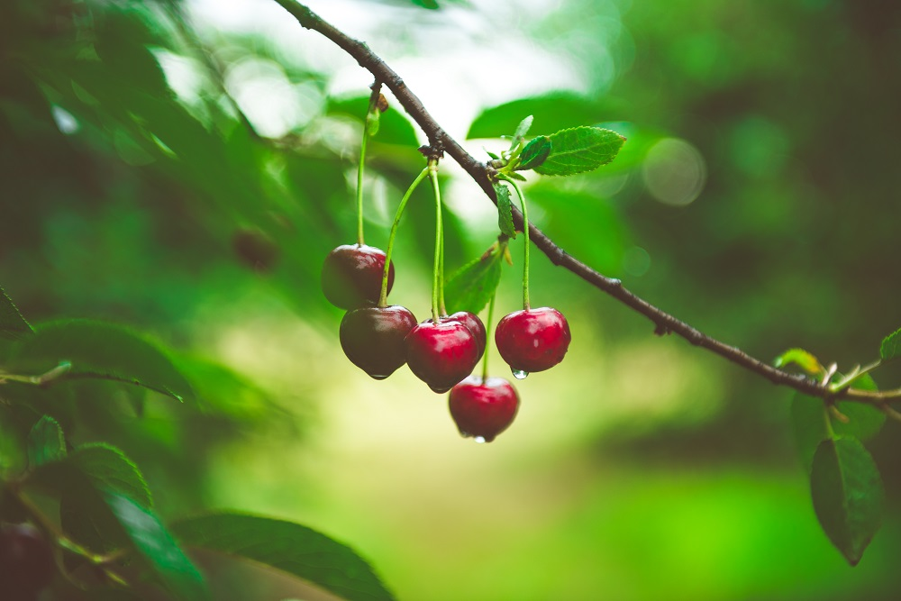 British cherries to flood supermarket shelves after July's heatwave