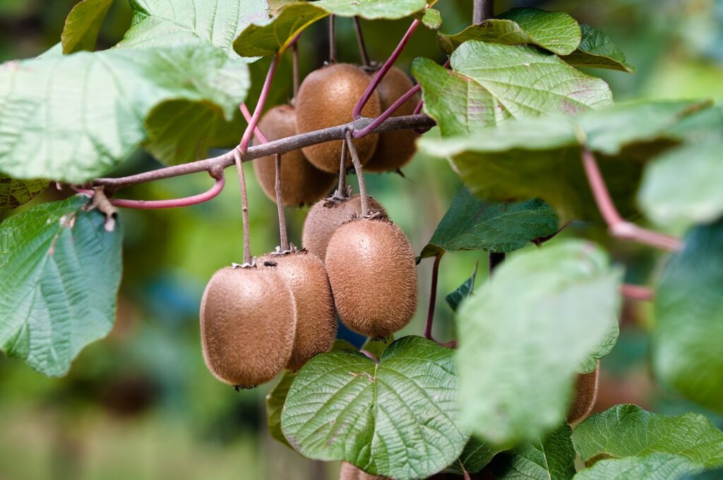 South African kiwifruit industry has potential for rapid expansion, economists say