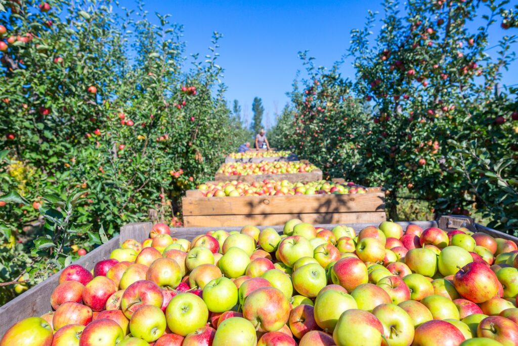 U.S. apple crop expected to rise in 2021-22