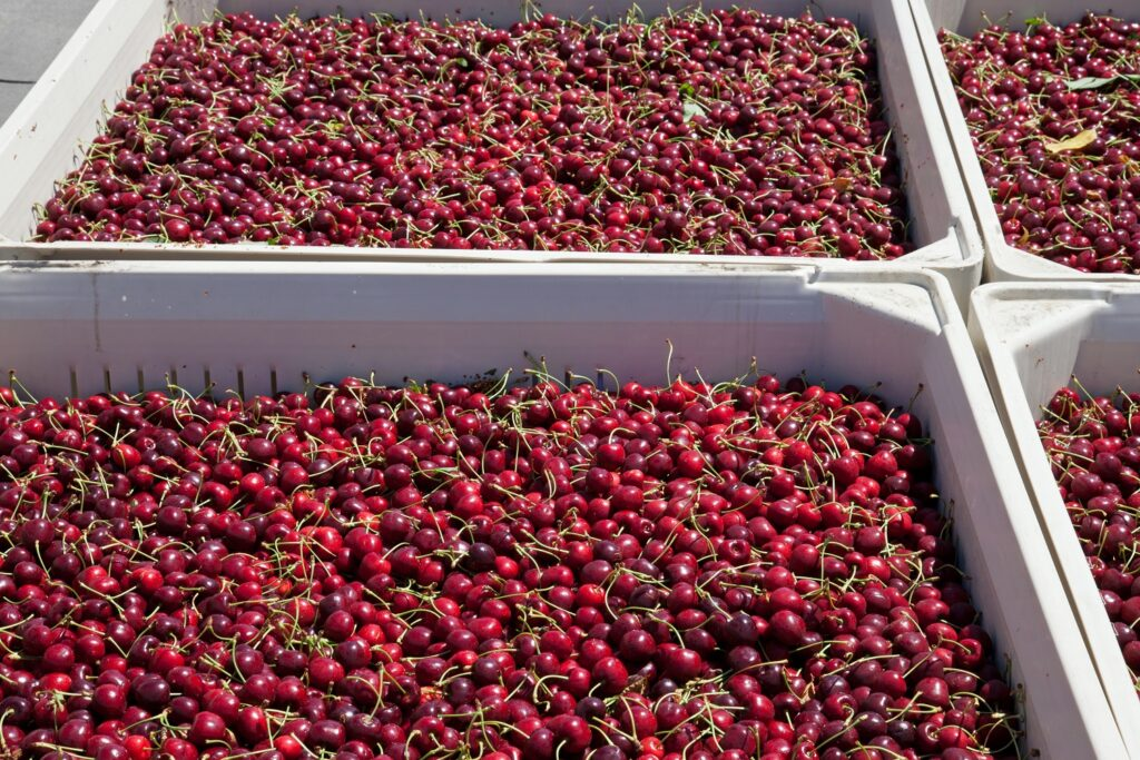 Vanguard looking forward to strong Chilean cherry crop