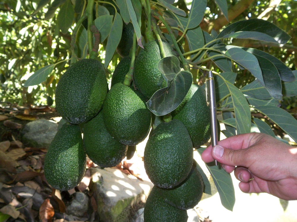 Expanding the global supply window for Hass-like fruit