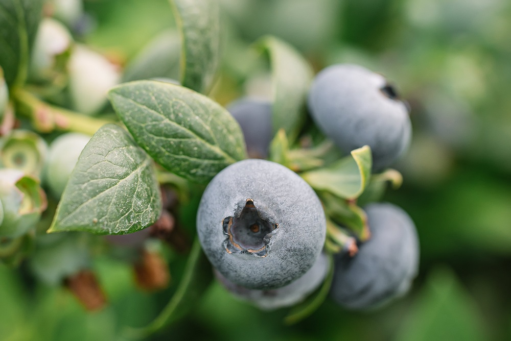 BerryWorld forecasts its South African blueberry exports to rise by a quarter