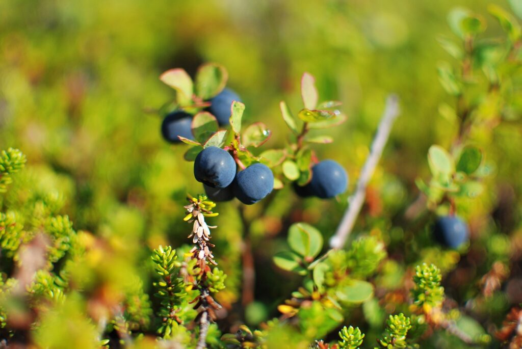 Maine blueberry growers had bounce-back year, aided by rain
